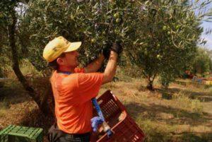 сбор урожая зеленых оливок