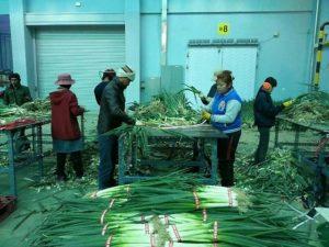 Сортировка и упаковка лука