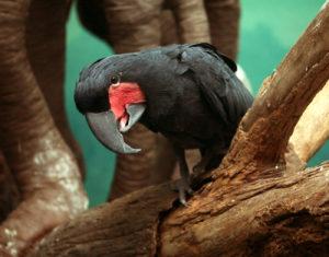Сейшельский черный попугай