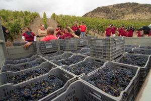 Работа по сбору урожая винограда в Португалии