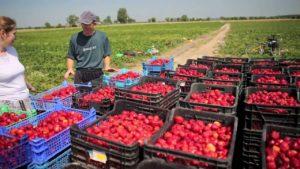 Работа по сбору урожая в Польше