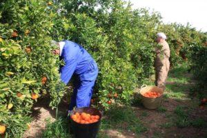 Сбор урожая апельсинов - традиционная сезонная работа на испанском рынке труда