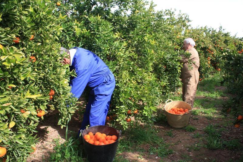 страхование Отмена когда собирают урожай апельсинов в греции поглотительного дренажа