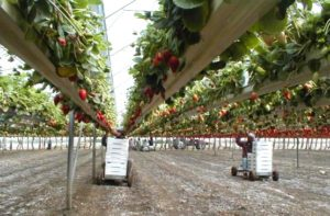 Работа по сбору урожая клубники в Израиле