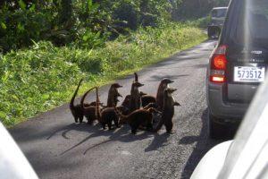 Осторожно, носатики в Коста-Рико могут пороситься к вам автостопом :)