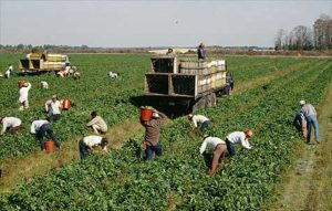 Сбор урожая в одном из фермерских хозяйств