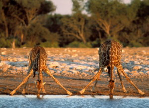 На данном этапе в Национальном парке Крюгера обитает приблизительно: 27 тыс. африканских буйволов, 350 черных и 10 тыс. белых носорогов, более 5 тыс. жирафов, около 18 тыс. зебр, 3 тыс бегемотов, около 500 гепардов, 1,5 тыс. львов, 1 тыс. леопардов, около 100 тыс. разных антилоп и огромное кол-во других зверей.